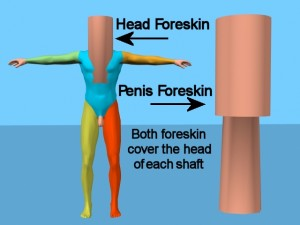 How_Circumcision_Affects_Body-HeadForeskinLabeled