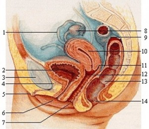 Penis_Vagina_Are_Curves-VaginaAnatomy