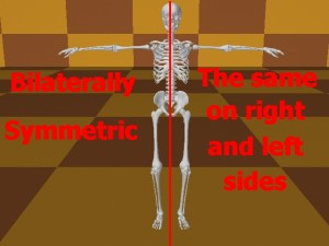 Homosexual_Lopsided_Body-SkeletonBilaterallySymmetric